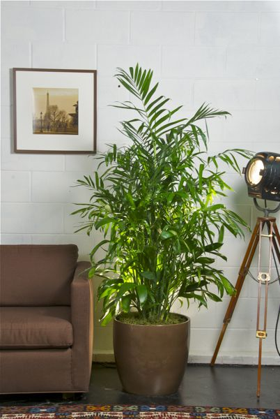 Bamboo_Palm_Houston