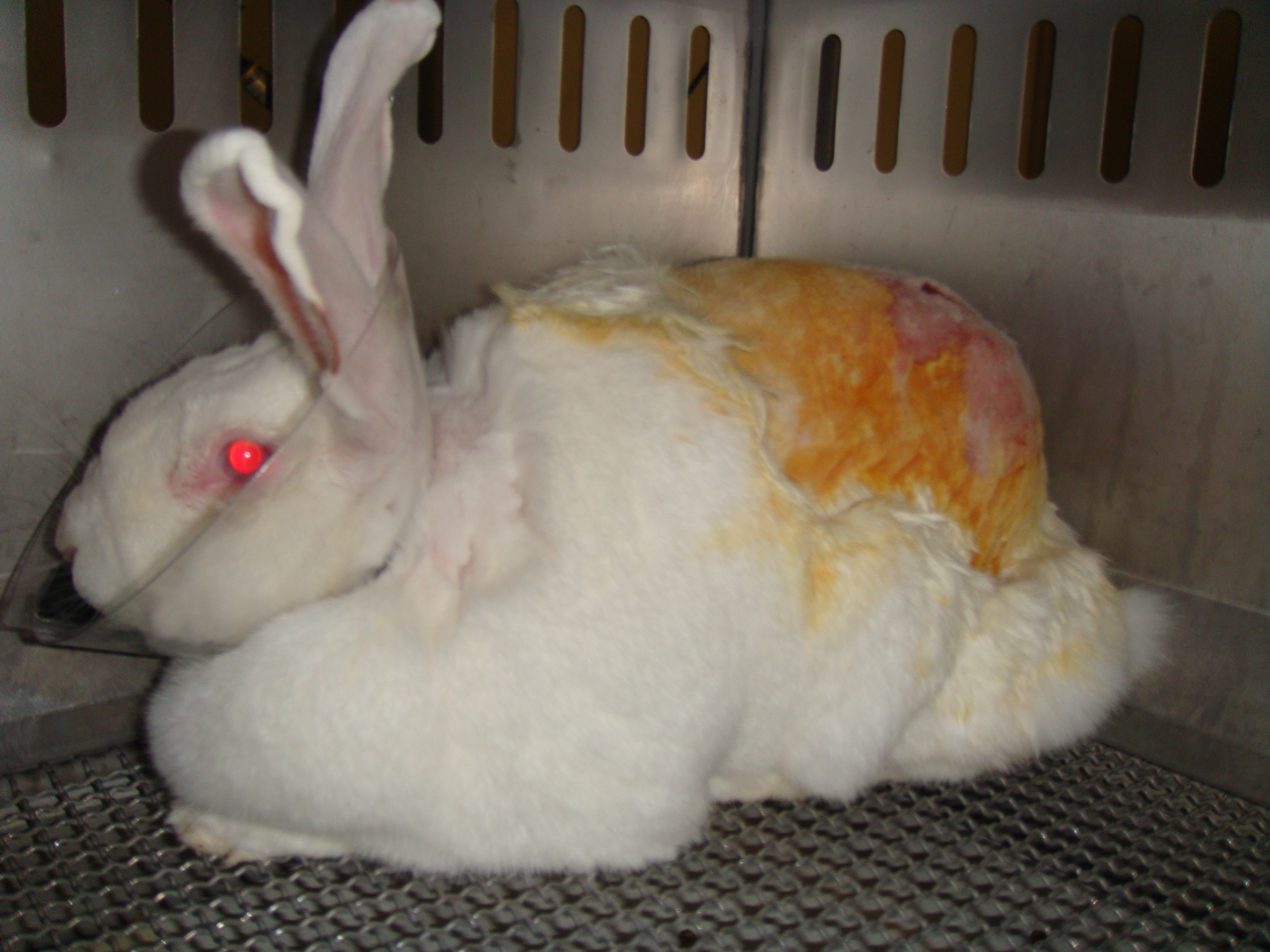 rabbit with a shaved back and wearing an Elizabethan collar in a cage